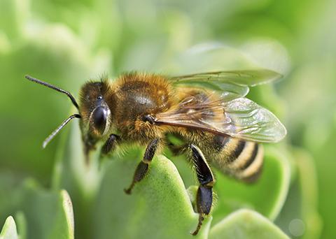 Le api e il caffè